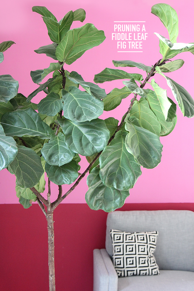 Pruning A Fiddle Leaf Fig Tree I Kept It Alive For A Year